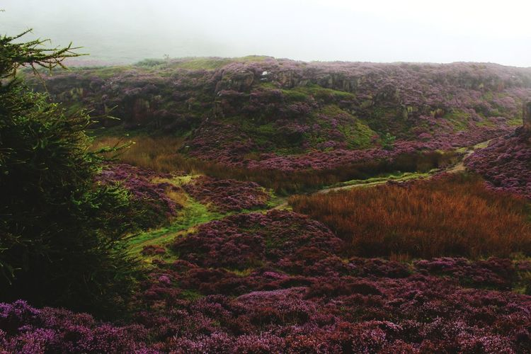 Landscape Nature Plant Fog Vacations No People Beauty In Nature Nature Reserve Rural Scene Outdoors Sky Day Ilkley Moor Vacations Hill Travel Destinations Beauty In Nature Purple Growth Scenics Plant Field Tree Eye Em Selects