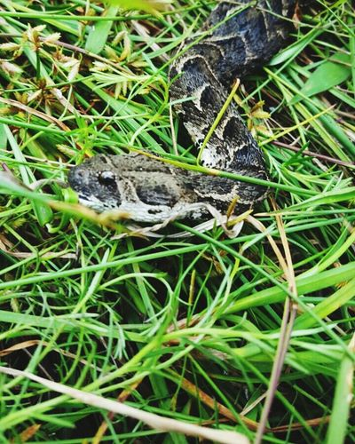 Puff Adder in Oribi Gorge Nature Reserve One Animal Reptile Animal Themes Animals In The Wild Nature Grass Animal Wildlife High Angle View No People Outdoors Green Color Day Close-up Animal Scale Snake Puff Adder Snakes Of Africa Oribi Gorge South Africa