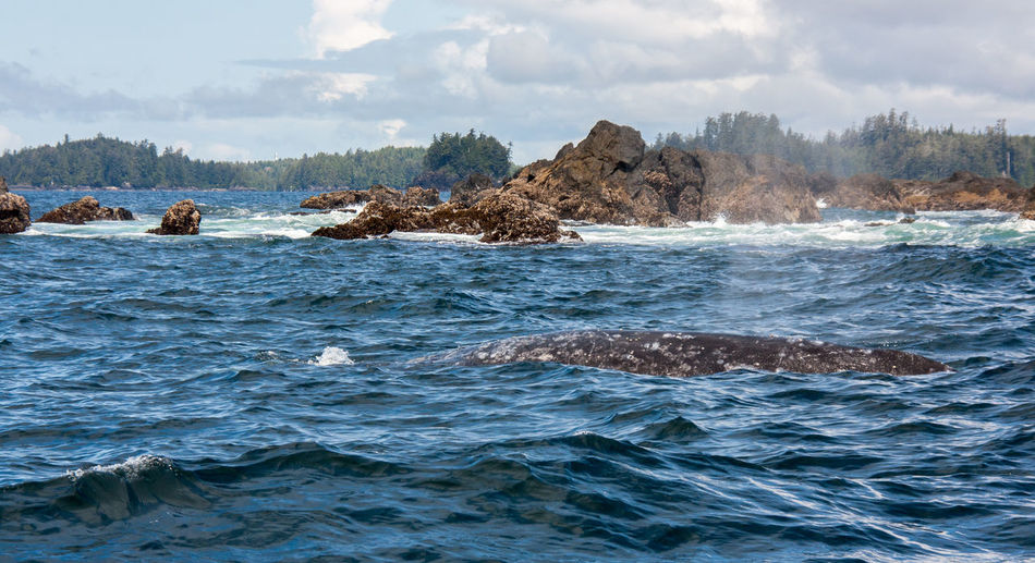 Adventure Aquatic Blowhole British Columbia Canada Grey Whale Kayaking Long Beach Ocean Outdoors Pacific Rim Rugged Rugged Beauty Rugged Terrain Tofino Ucluelet Vancouver Island Water Whale Whale Watching Wild Pacific Trail Wilderness Wilderness Adventure Wildernessculture Wildlife