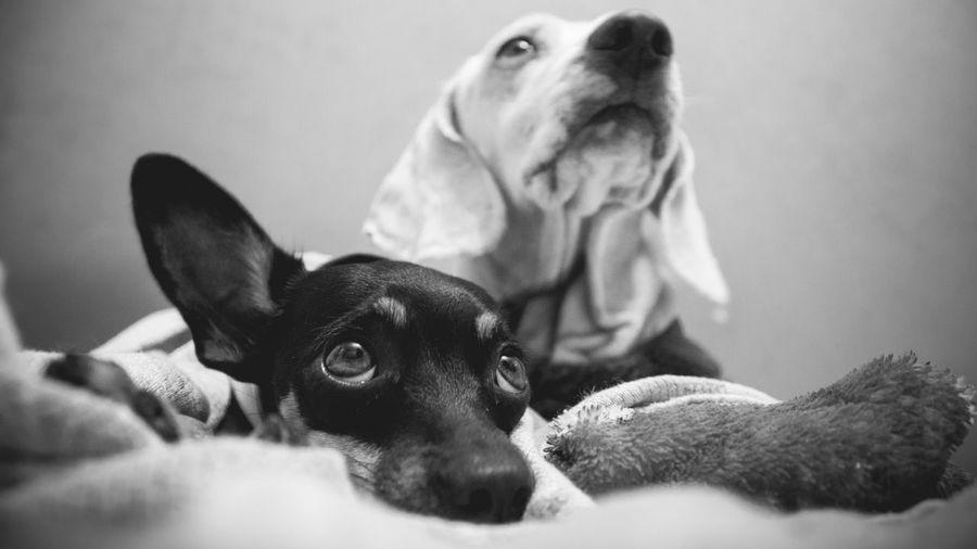 Meus melhores amigos, desde sempre =) 100D B&w Basset Bestfriends Blackandwhite Canonphotography Dog Monochrome Mydog Pets Pincher Rio Claro Sl1