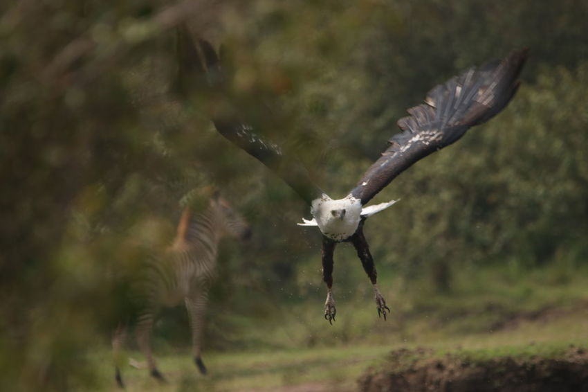 Eagle with Zebra in background Zebra Animal Themes Animal Wildlife Animals In The Wild Bird Bird Of Prey Day Flying Full Length Mid-air Motion Nature No People One Animal Outdoors Spread Wings