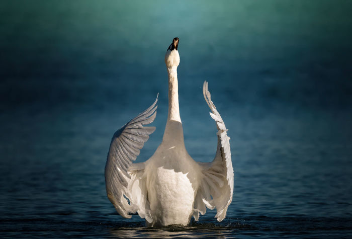 A mature white swan flapping his wings Blue Elegant EyeEmNewHere Flapping Graceful Majestic Powerful Strong Swan Wings