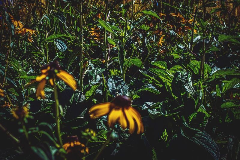 Paint The Town Yellow Flower Growth Yellow Nature Fragility Plant Freshness Beauty In Nature Petal Day No People Flower Head Outdoors Blooming Close-up Denver Colorado  The Week On EyeEm Many Flowers Sunlight On Flower
