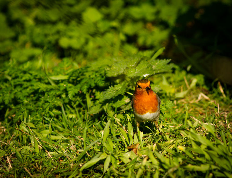 Animal Themes Animal Wildlife Animals In The Wild Beauty In Nature Bird Close-up Day Grass Green Color Growth Insect Nature No People One Animal Outdoors Perching Robin