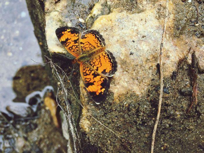 Butterfly Close-up Orange Color Black Color