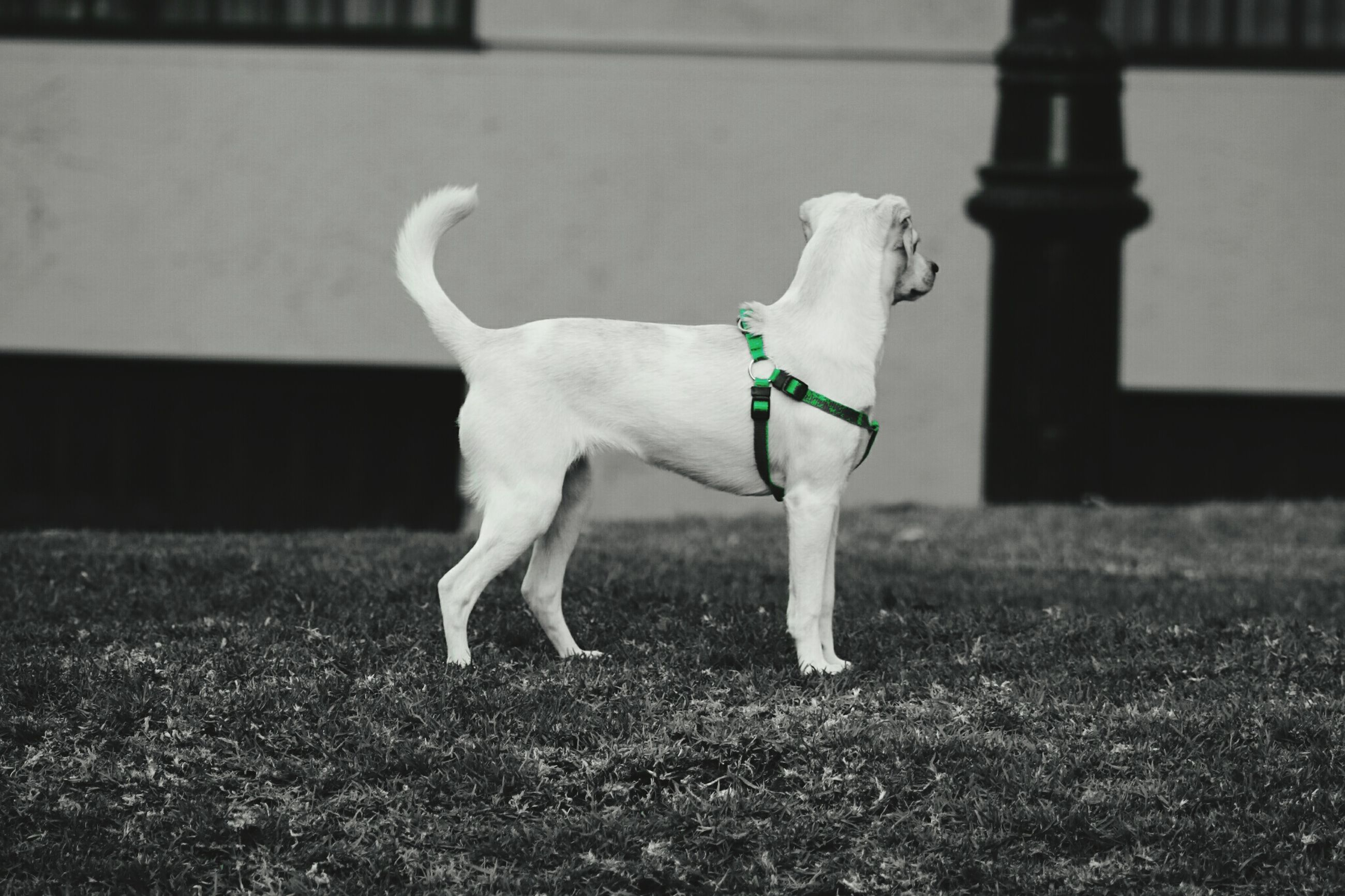 domestic animals, one animal, animal themes, dog, pets, full length, mammal, white color, grass, standing, field, focus on foreground, walking, day, side view, no people, outdoors, white, nature, front view