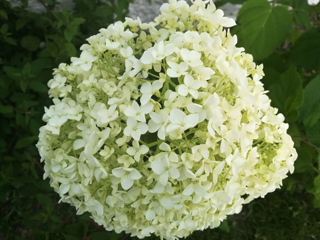 Flower Head Flower Hydrangea Petal Cauliflower Close-up Plant