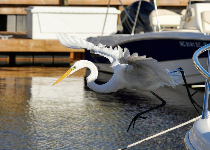 I'm diving in! Animal Wildlife Animals In The Wild Beak Bird Coastal NC Egret Loving Sony Marina Sony RX10iii Spread Wings White Egret