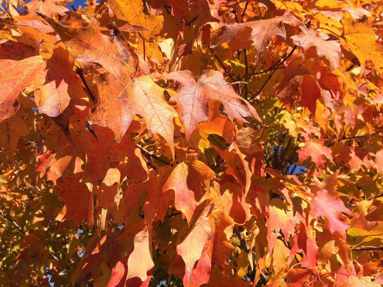 autumn, change, plant part, leaf, leaves, day, nature, orange color, maple leaf, close-up, beauty in nature, plant, no people, full frame, falling, dry, outdoors, natural condition, growth, fragility, maple tree, fall, autumn collection