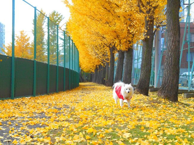 🐶😆😄💕🍂 Autumn Leaves Autumn Colors Colors Of Autumn Yellow Leaves Yellow EyeEmBestPics EyeEm Nature Lover EyeEm Best Shots Dog Dog Love