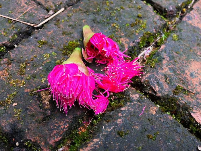 Mamiew Pomerac Flowers falled on red bricks ground High Angle View No People Outdoors Day Pink Color Nature Fragility Ground Nature Falled Mamiew Pomerac Dirty Red Brick Close-up Flower Beauty In Nature Flower Head