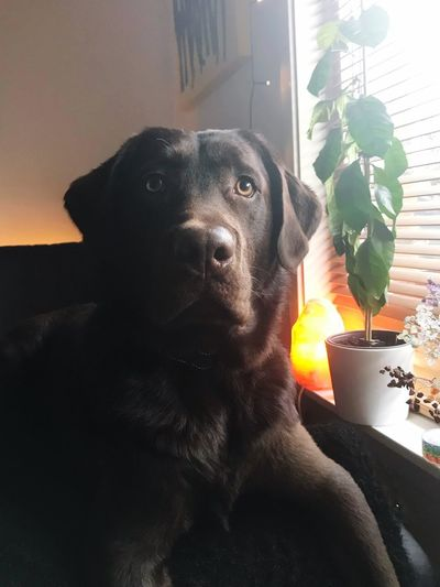 Adorable Chocolate Lab Labrador Pets Domestic Mammal Animal Domestic Animals Animal Themes Dog Indoors  Home Interior One Animal Canine No People Close-up Sunlight Portrait Window Looking