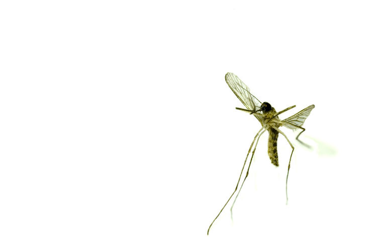 detail of a mosqiuto Close-up Copy Space Culicidae Cut Out On White Details Flying Insect Macro Mosquito Single Object White Background Wings