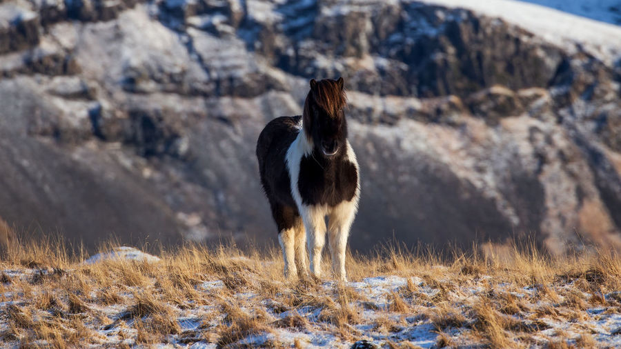 Icelandic horse portrait in snowy landscape, iceland