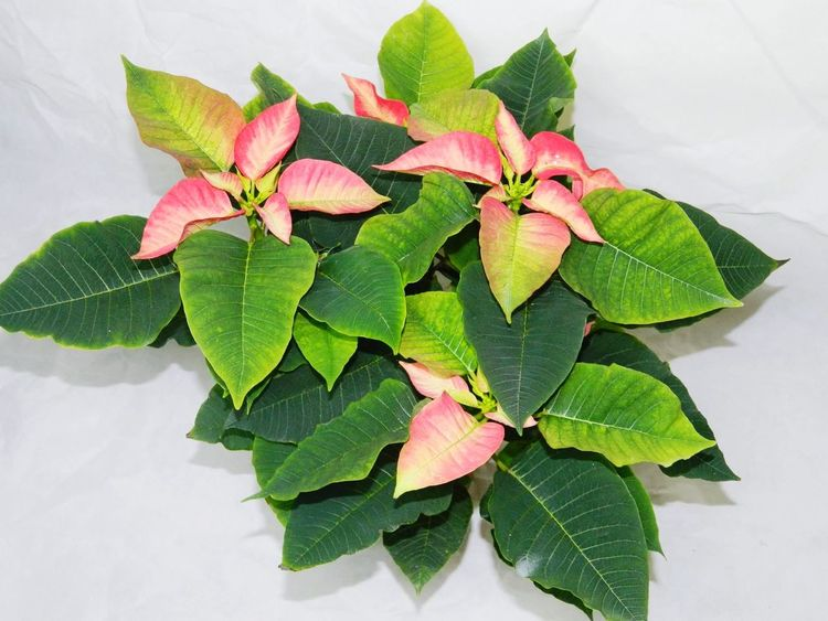 Leaf Green Color Freshness Close-up Flower High Angle View Food And Drink Plant No People Nature Indoors  Mint Leaf - Culinary Beauty In Nature Flower Head Food Day Poinsettia Poinsettias Poinsettia Plants Poinsettia Flower Poinsetta Poinsettia With Christmas Tree Poinsetta Flowers
