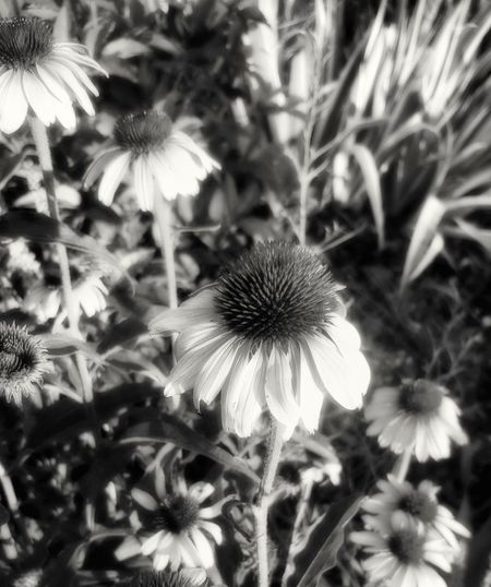 Taken On Mobile Device Showcase June Taken By M. Leith Street Photography Filtered Flowers Black & White High Contrast