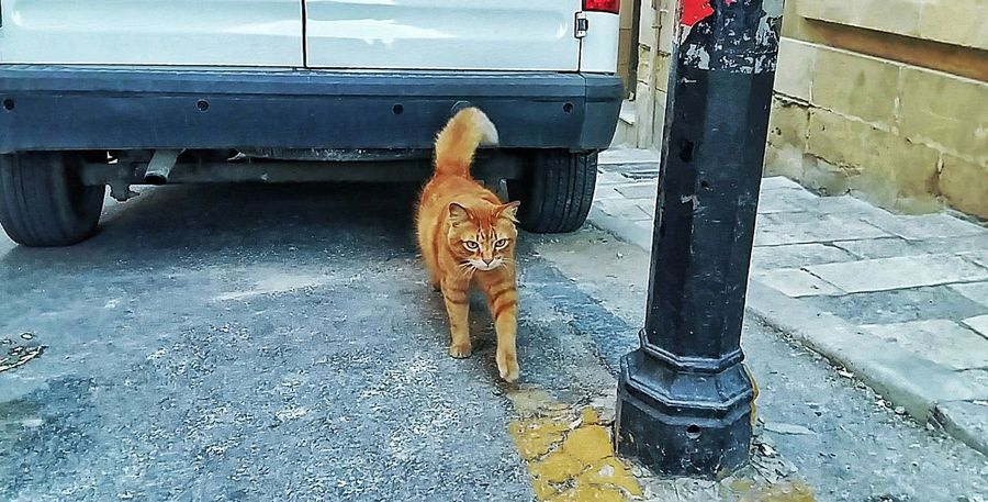A cat roaming around the streets Dog Low Section Pets Mammal Domestic Animals Outdoors One Animal Day Animal Themes Human Leg Human Body Part Adult People Cat Cats Free Stray Cat Stray Valletta Malta Valletta,Malta Medieval Car Maltese Lovinmalta