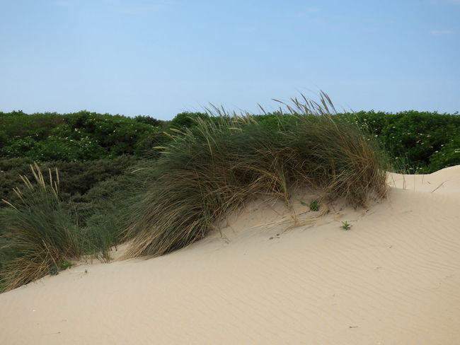 Arid Climate Beach Beauty In Nature Clear Sky Climate Day Desert Environment Grass Growth Land Landscape Marram Grass Nature No People Outdoors Plant Sand Sand Dune Scenics - Nature Sky Tranquil Scene Tranquility Tree