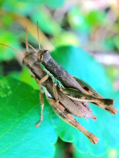 Grasshopper Hug