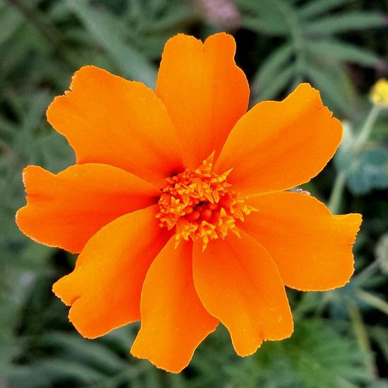 Orange Flower Summer Marigold
