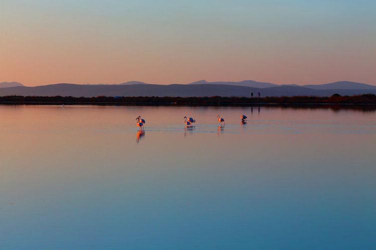 Flamingos on lake against sky during sunset