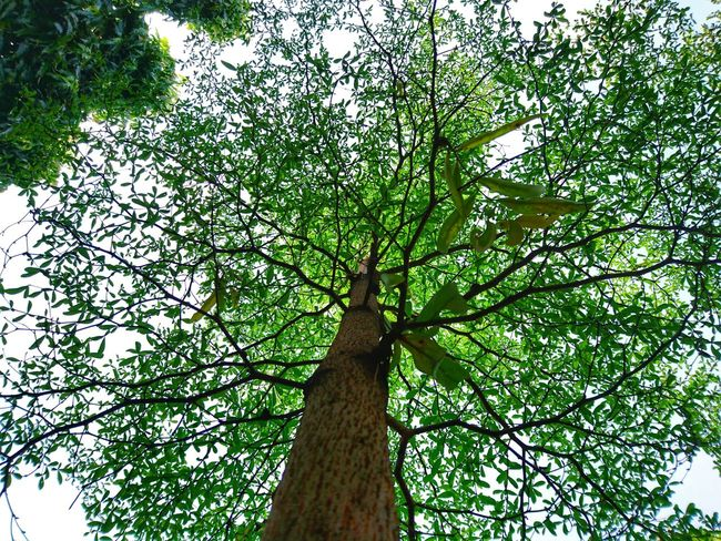 LIFE is simple if you just follow the rules from GOD .. . Low Angle View Tree Nature Beauty In Nature Sky Day Outdoors Branch Backgrounds INDONESIA Bashrah Growth No People Sun Nature Leaf Plant Green Sunlight Nature Photography Beauty In Nature Peace Morning Freshness Close-up