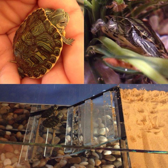 Mijn schattige nieuwe baby geelwangschildpadjes. AnimalslLikekCutete