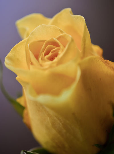 Feeling of delight! Backgrounds Beauty In Nature Blooming Botany Close-up Day Flower Fragility Freshness Nature No People Petal Plant Rose - Flower Selective Focus Springtime Yellow