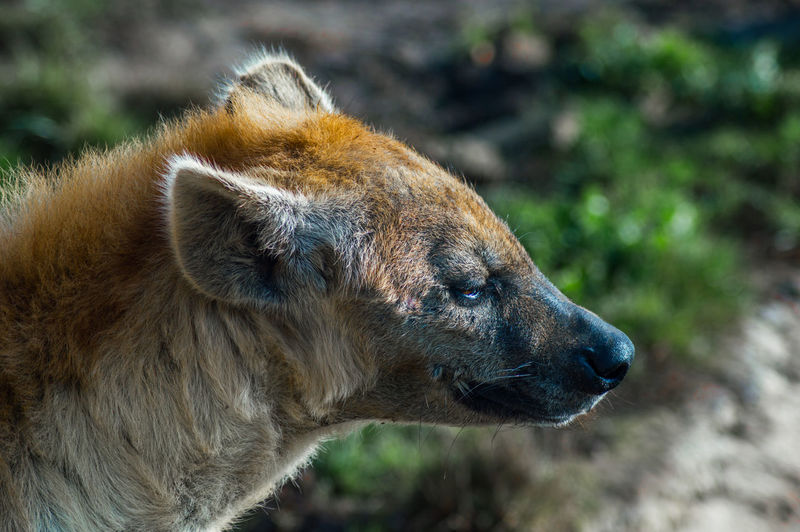 Hyenalook Hyena Focus On Foreground Close-up No People Side View Looking Outdoors Animal Hair Animal Head  Animal Body Part Animals In The Wild Animal Wildlife Mammal Animal Themes Snout Brown Profile View Vertebrate Animal One Animal Day Hair Hyenas Colors Zoo