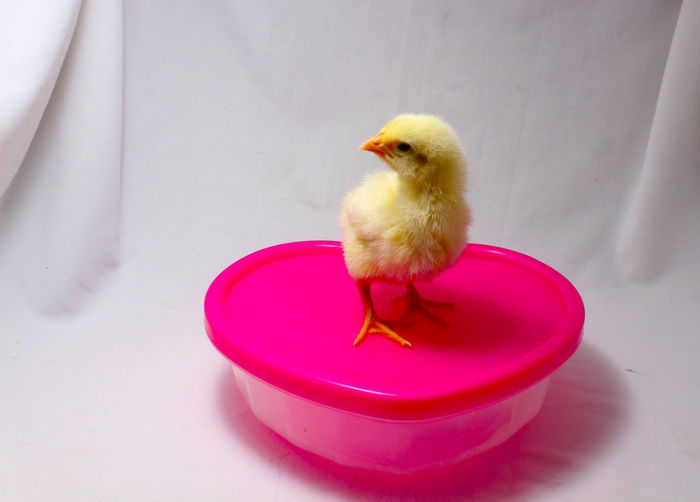 High Angle View Of Baby Chicken On Container Over White Fabric