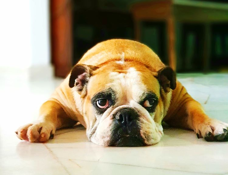 The moody look of a English Bulldog lying on the floor, thinking about life. Dog Pets Portrait Lying Down EyeEmNewHere Photography Cute Dog  Animal Bulldog EnglishBulldog Canine Photography Live Focus Indoors  Samsung Galaxy Note 8 British Bulldog Pets Portraits