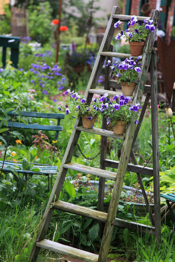 Pansy flowers decorated on an old wooden ladder in the garden Flower Pot Gardening Ladder Beauty In Nature Blooming Decoration Flower Flower Head Freshness Garden Grass Green Color Growth Leaf Multi Colored Nature No People Outdoors Pansy Plant Purple Shelf Summer Viola Violet
