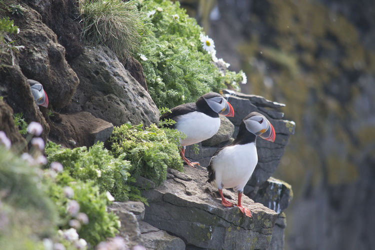 Puffins Perching On Rocks
