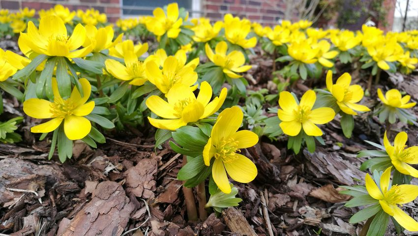 Yellow Flower Nature Leaf Plant Growth Fragility Beauty In Nature Outdoors Flower Head Freshness Close-up No People Day Winter Aconite