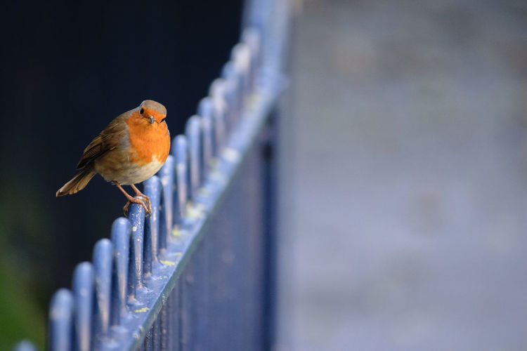 Bird Photography Birds🐦⛅ Birdwatching Animal Themes Animal Wildlife Animals In The Wild Beauty In Nature Bird Birds Close-up Day Nature No People One Animal Outdoors Perching Railing Robin Robin Redbreast Selective Focus