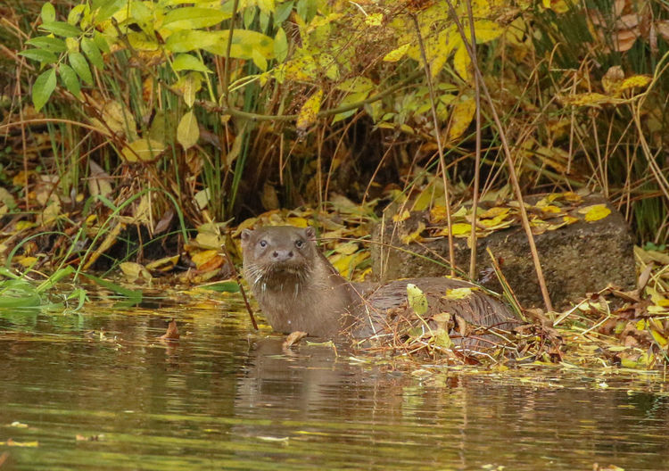 Otters Otter Wildlife Wild Nature Water One Animal Nature Water Animal Themes Animals In The Wild Animal Wildlife Outdoors No People Mammal Day Beauty In Nature Animals In The Wild Living Organism