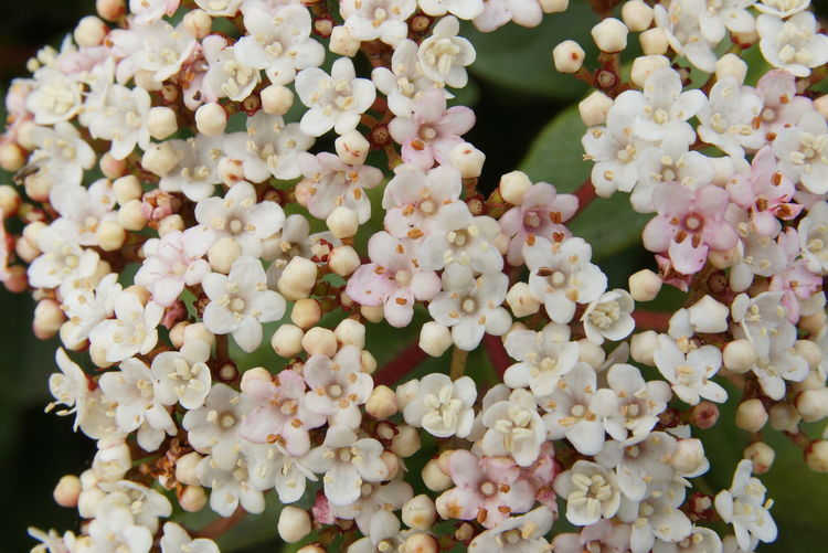 Pink Viburnum Tinus Backgrounds Beauty In Nature Bicolor Bud Bunch Of Flowers Close-up Floral Flower Head Freshness Full Frame Growth Inflorescence Macro Nature Petal Pink Color Plant Tiny Flowers White Color