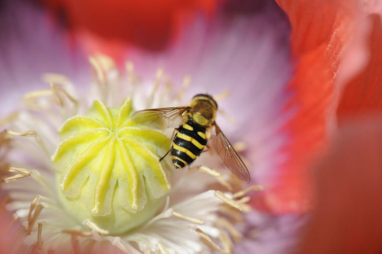 Schwebfliege Auf Mohnblüte Schwebfliegen Animal Themes Animal Wildlife Animals In The Wild Beauty In Nature Bee Close-up Flower Flower Head Fragility Freshness Growth Insect Nature No People One Animal Outdoors Petal Plant Pollen Pollination Symbiotic Relationship
