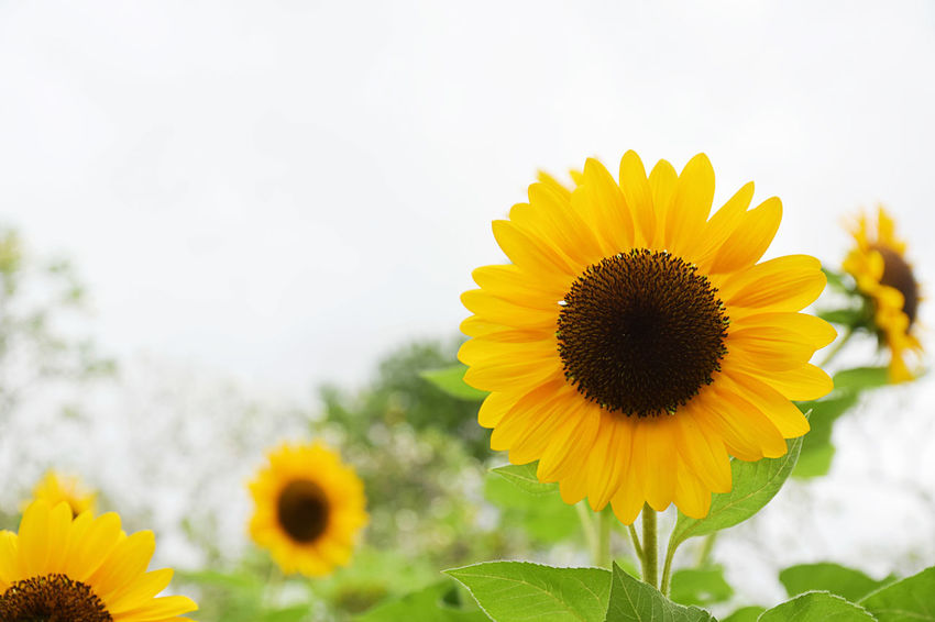 Sunflower blooming in the field with cloud and blue sky. Sunflower oil improves skin health and promote cell regeneration Oil Bright Field Green Growth Sunflower Sunlight Sunny Blooming Blossom Botany Cell Flora Flower Garden Health Leaf Organic Petal Plant Pretty Regeneration Skin Sun Yellow