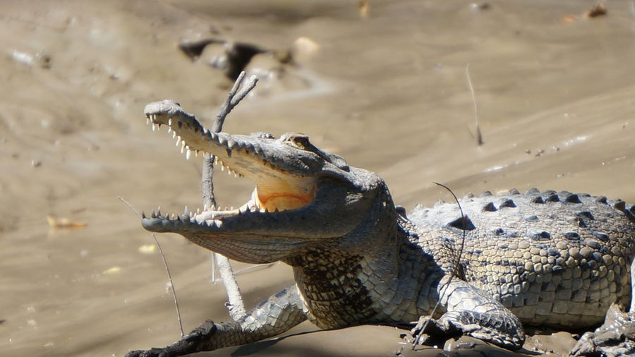 Crocodile with open mouth at beach