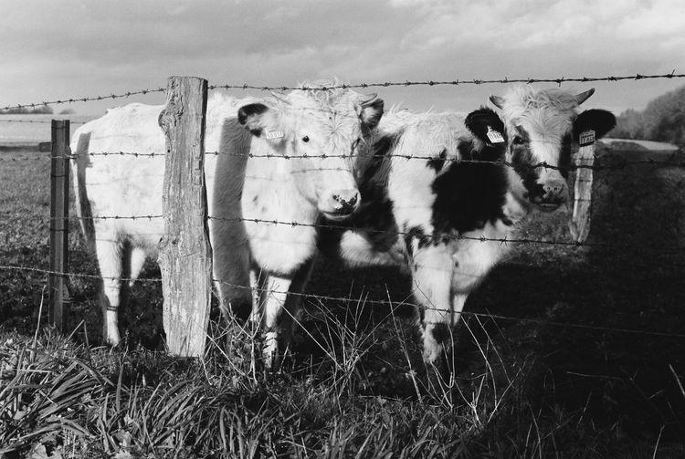 Cows 35mm Kodak