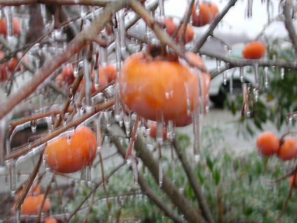 Beauty In Nature Branch Close-up Focus On Foreground Food Food And Drink Freshness Frozen Fruit Fruit Healthy Eating Icicle Nature No People Orange Color Outdoors Persimmon Persimmon Tree Tree Winter Winter Trees Ice EyeEmNewHere Great Outdoors-EyeEm Awards 2017