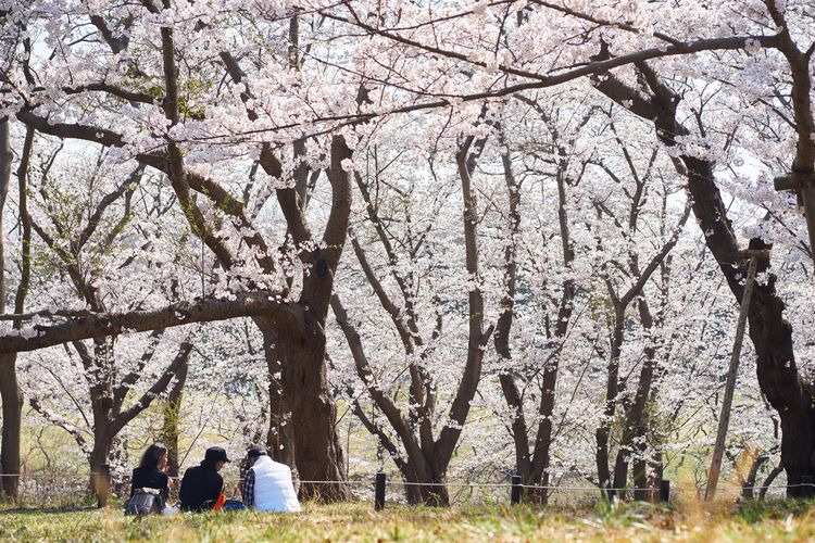 EyeEm Best Shots Sakura Tree Plant Group Of People Real People Day Men Women Togetherness Park - Man Made Space Trunk Park Nature Lifestyles Leisure Activity Adult Beauty In Nature Growth People Tree Trunk Branch