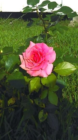 Hello World Check This Out Taking Photos Flowerlovers Pink Flower 🌸 Rosé Pink Rose Pink Roses Beauty In Nature Mother Nature Love Nature Roses, Flowers, Nature, Garden, Bouquet, Love, Beautiful Flower