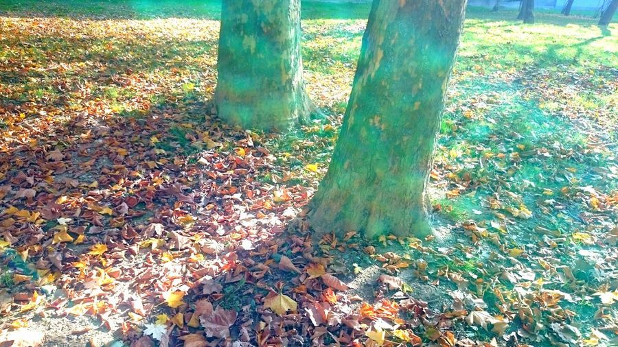 Autumnal leaves on tree trunk