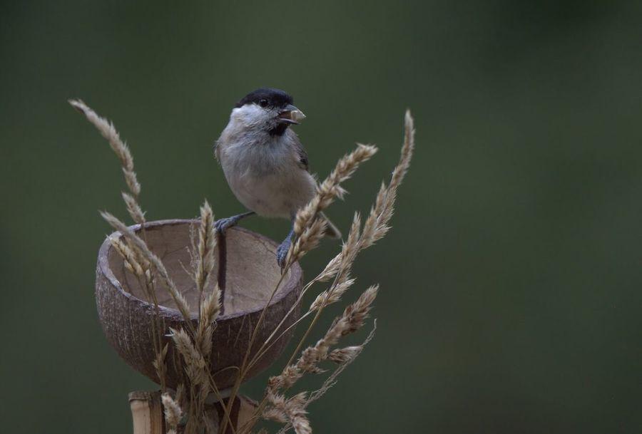Kohlmeise Vogel Singvogel Bird Photography