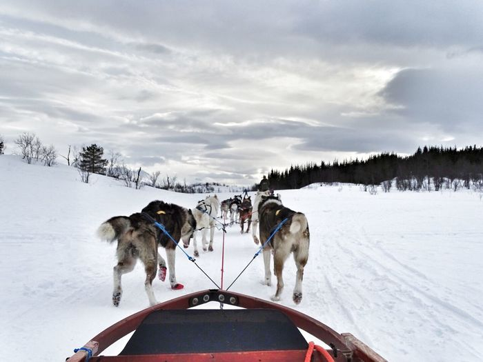 Rear View Of Sled Dogs Pulling Sleigh On Snowy Landscape
