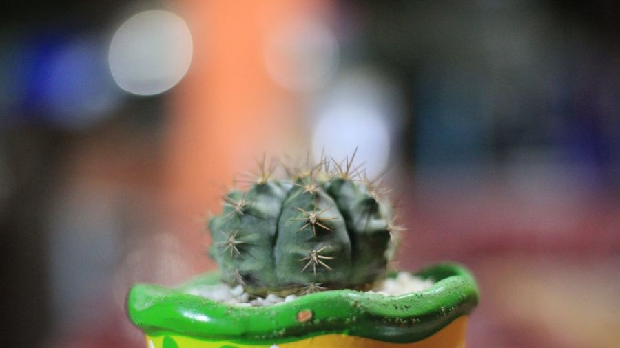 Close-up of cactus in flowerpot.