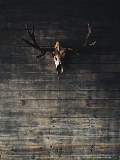 Animal Themes Skull Skulls Wood - Material No People
