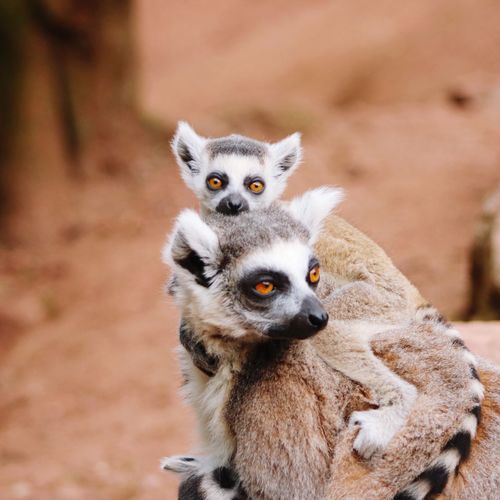 Close-up portrait of lemurs